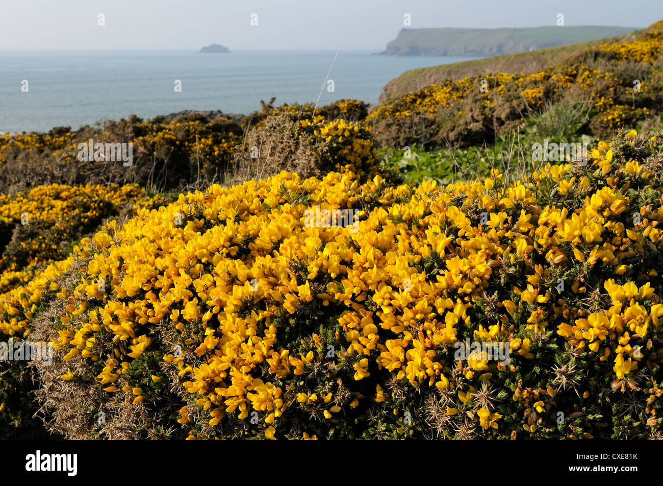 Gorse bushes (Ulex europaeus) flowering on cliff top with Pentire Head in the background, Polzeath, Cornwall, England - Stock Image