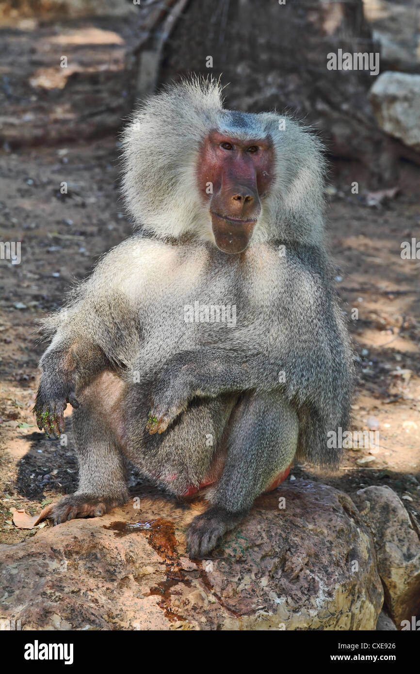 The silvery baboon tenderly smiles to spectators - Stock Image