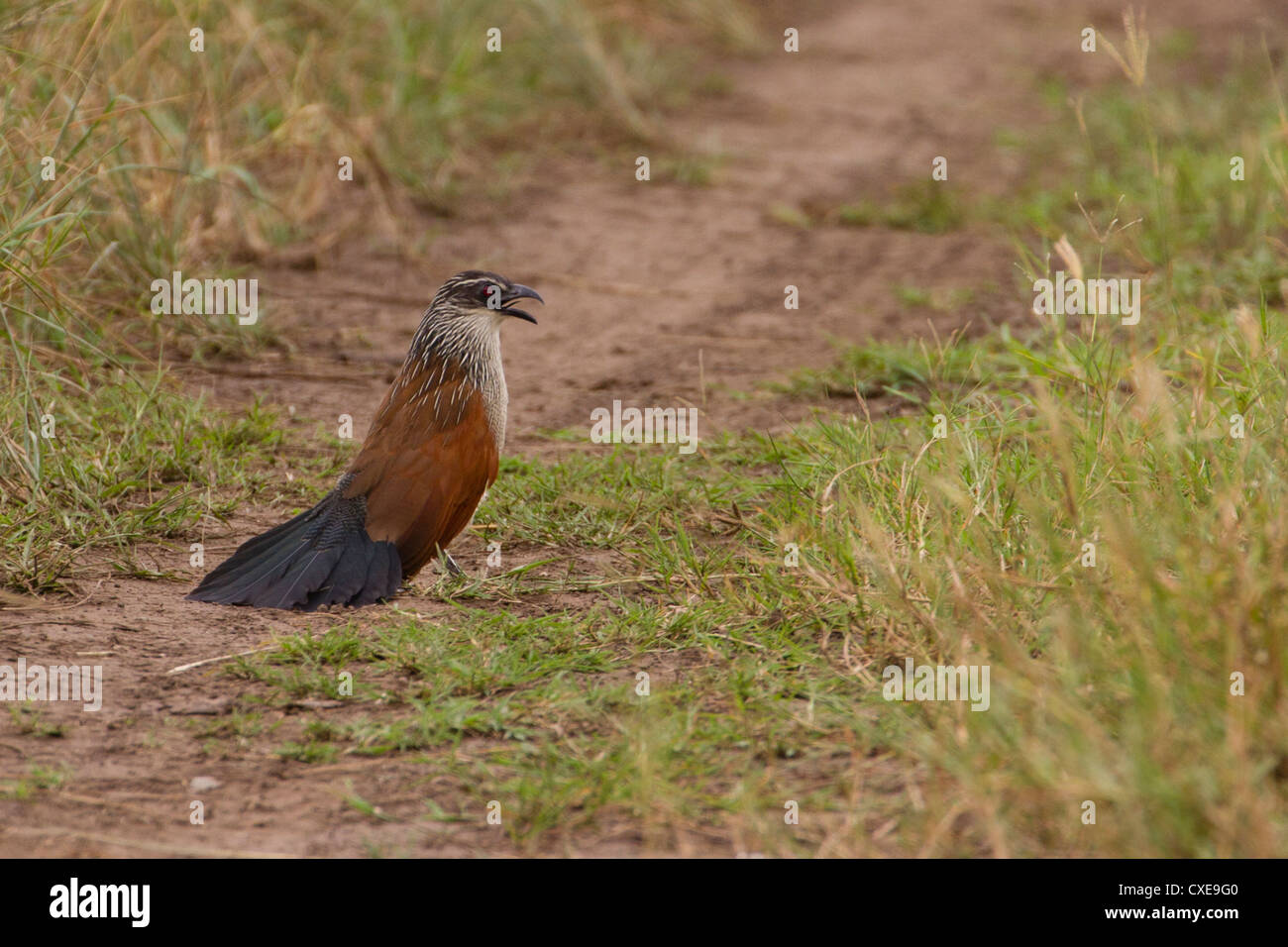 White Browed Coucal (Centropus superciliosus) performing courtship display, Queen Elizabeth National Park, Uganda - Stock Image