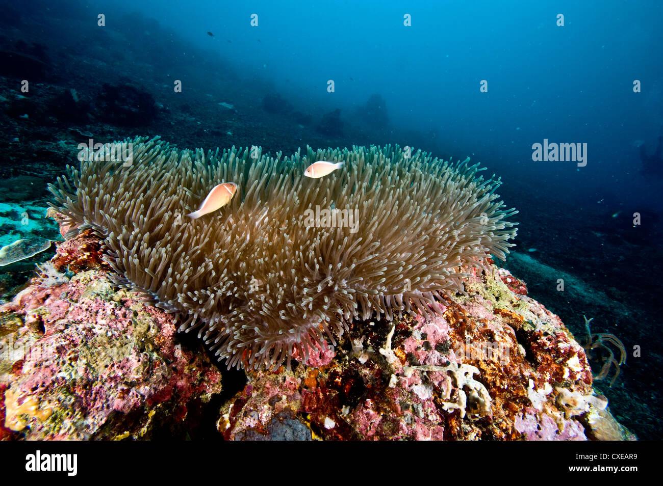 Anemone reef scene at Nalusuan Marine Sanctuary, Cebu, Philippines, Southeast Asia, Asia Stock Photo
