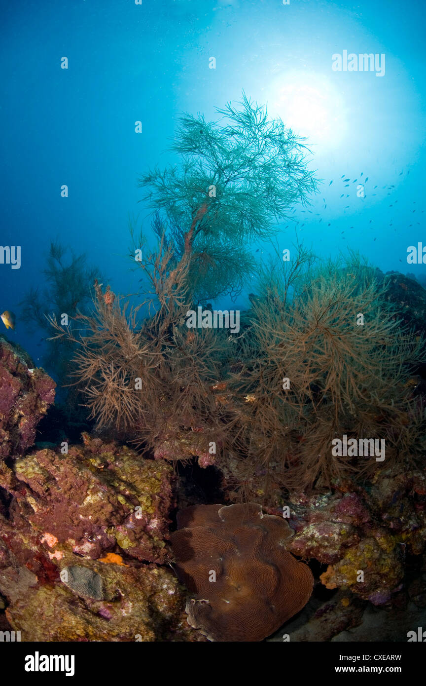 Black coral and sunburst, St. Lucia, West Indies, Caribbean, Central America - Stock Image