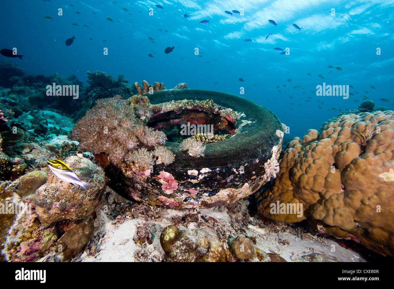 Coral encrusted tyre at Nalusuan Marine Sanctuary, Cebu, Philippines, Southeast Asia, Asia Stock Photo