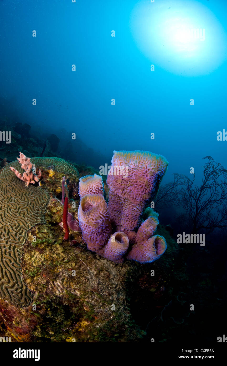 Azure vase sponge (Callyspongia plicifera), and sunburst, St. Lucia, West Indies, Caribbean, Central America - Stock Image
