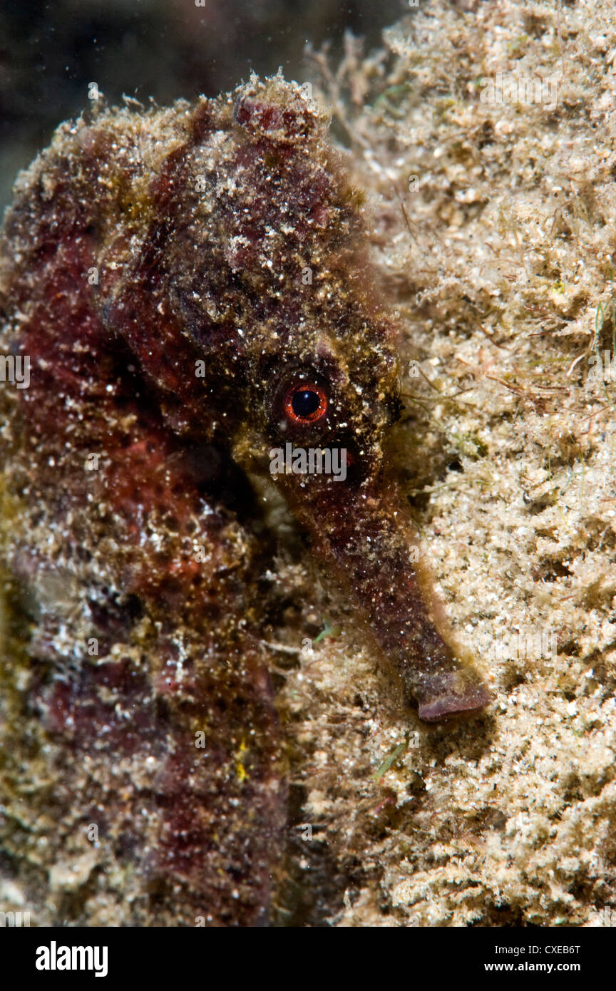 Longsnout seahorse (Hippocampus reidi), uncommon to Caribbean, grows to 2.5 to 4 inches, St. Lucia, West Indies - Stock Image