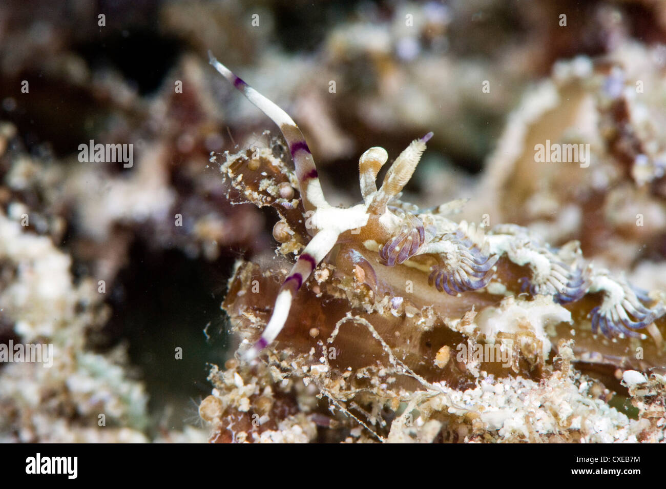 Pteraeolidia ianthina nudibranch, grows to 150mm, subtropical Indo-west Pacific waters, Philippines, Southeast Asia, - Stock Image