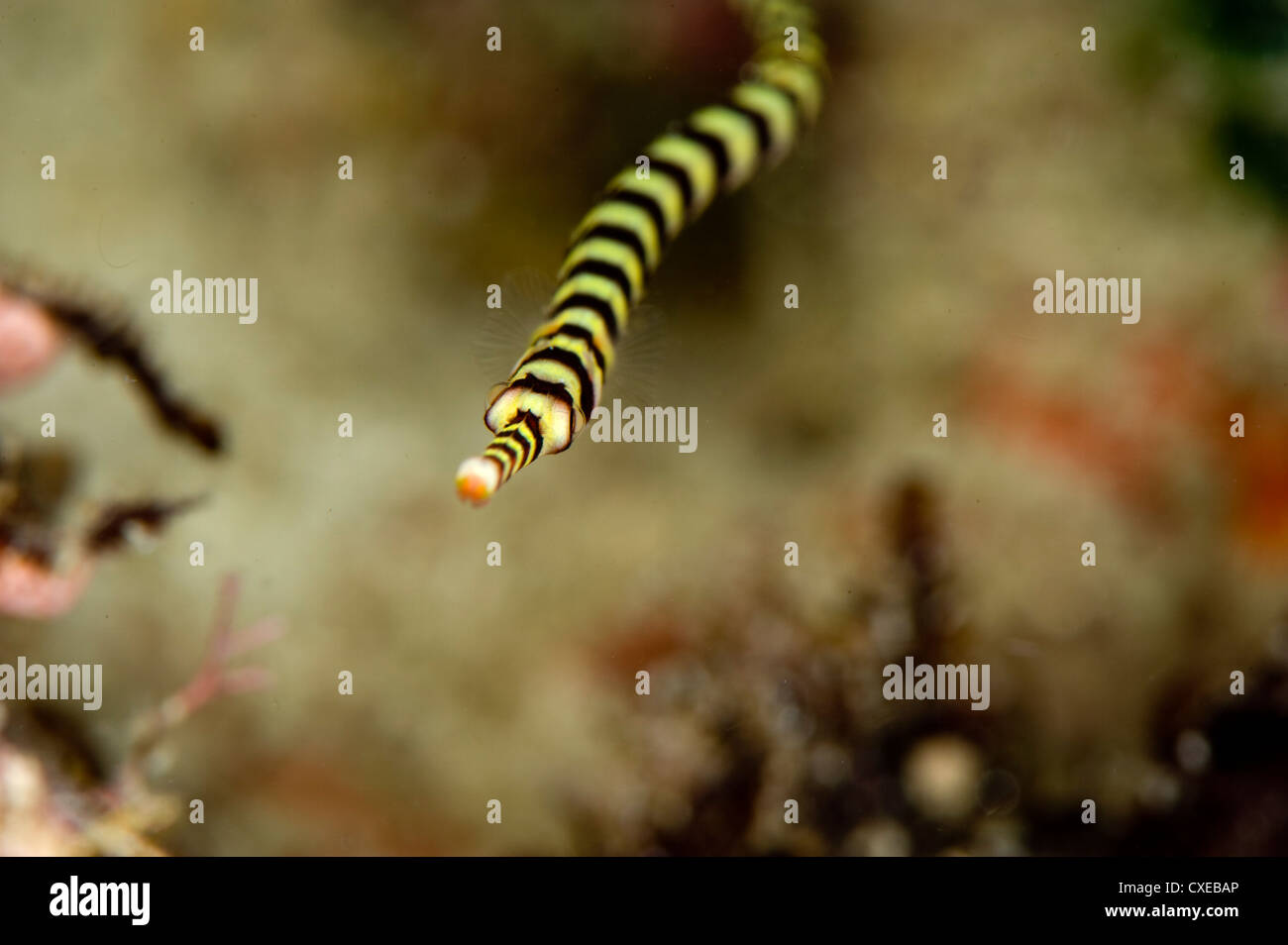 Ringed pipefish (Dunckerocampus dactyliophorus), grows to 18cm, Indo-Pacific waters, Philippines, Southeast Asia, - Stock Image