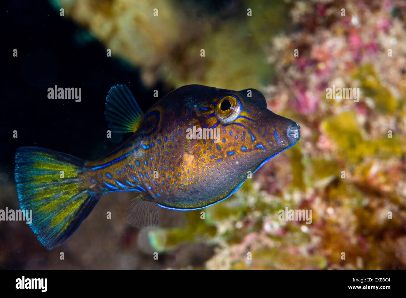 Sharpnose puffer (Canthigaster rostrata), St. Lucia, West Indies, Caribbean, Central America Stock Photo