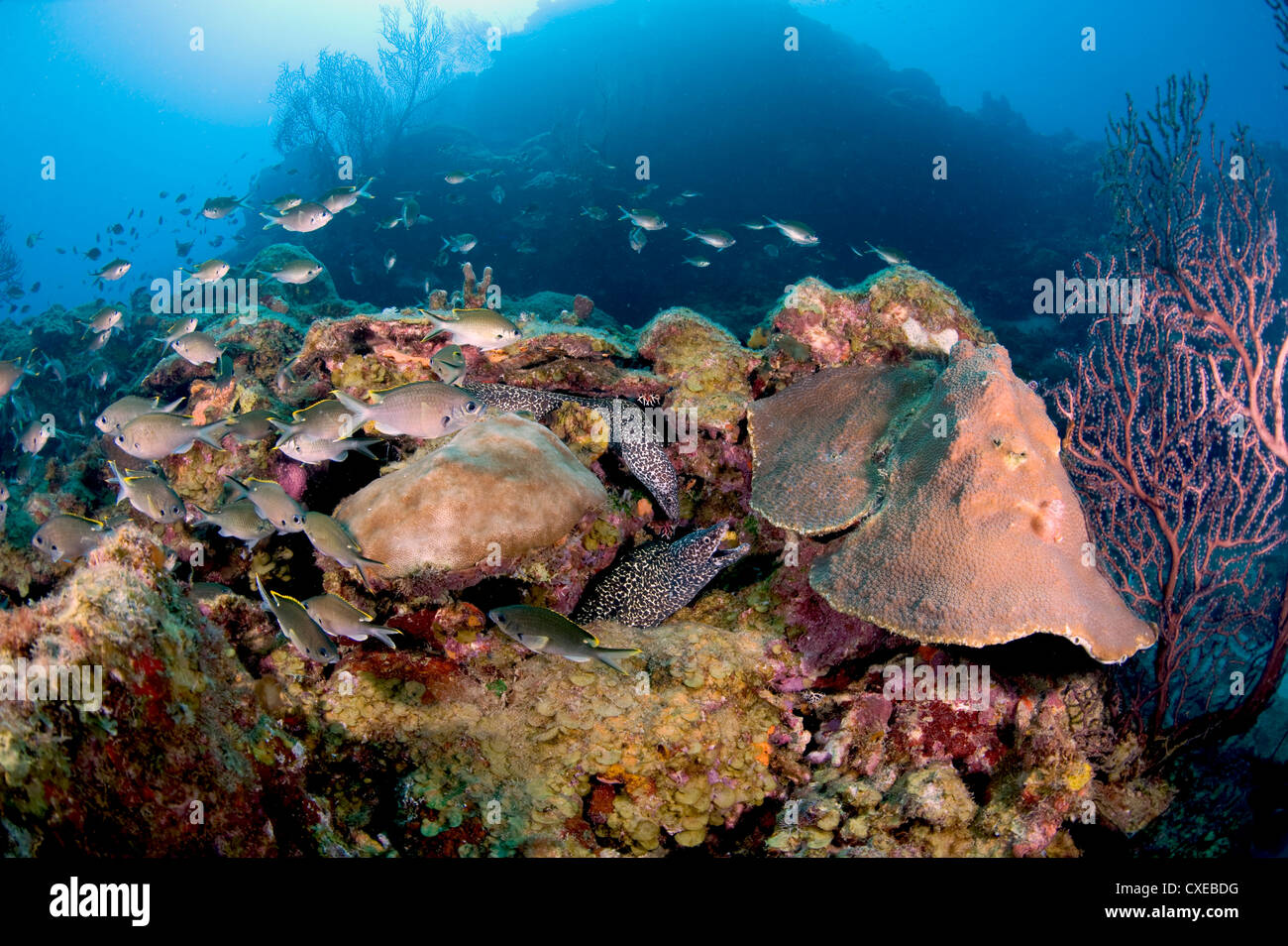 Two spotted moral eels (Gymnothorax moringa), St. Lucia, West Indies, Caribbean, Central America - Stock Image