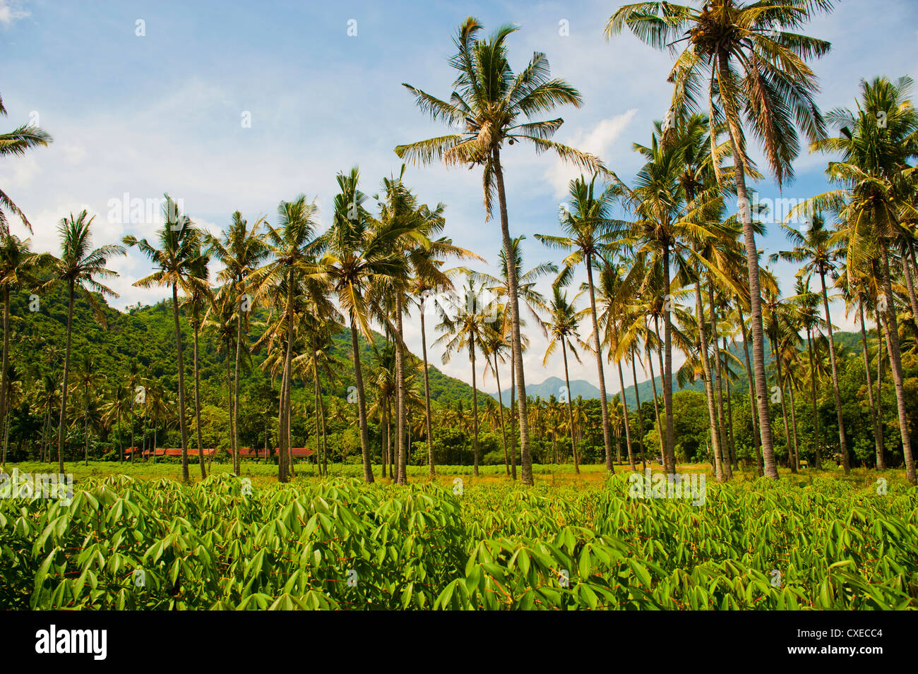 Tropical palm trees, Mangsit Beach, Lombok, Indonesia, Southeast Asia, Asia - Stock Image