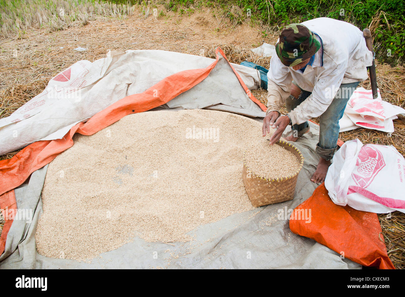 Rice paddy field worker sorting, collecting and drying out rice, Bandung, Java, Indonesia, Southeast Asia, Asia - Stock Image