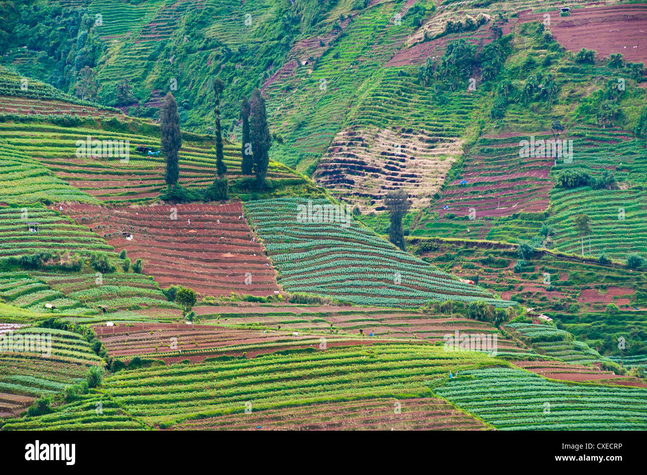 Vegetable fields at Wonosobo, Dieng Plateau, Central Java, Indonesia, Southeast Asia, Asia - Stock Image