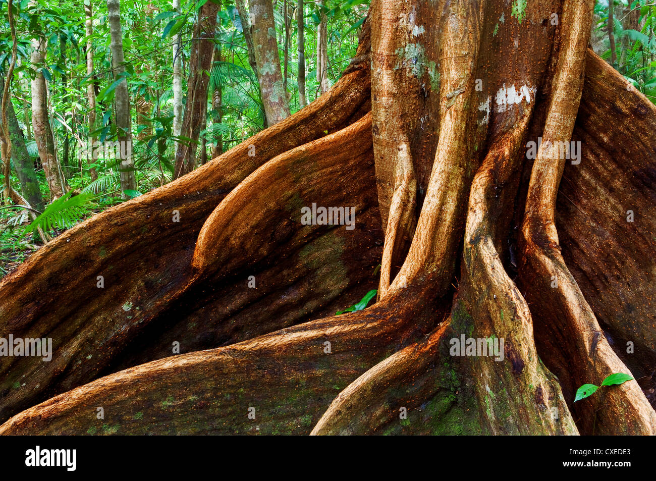 Giant root of an ancient tropical tree. - Stock Image