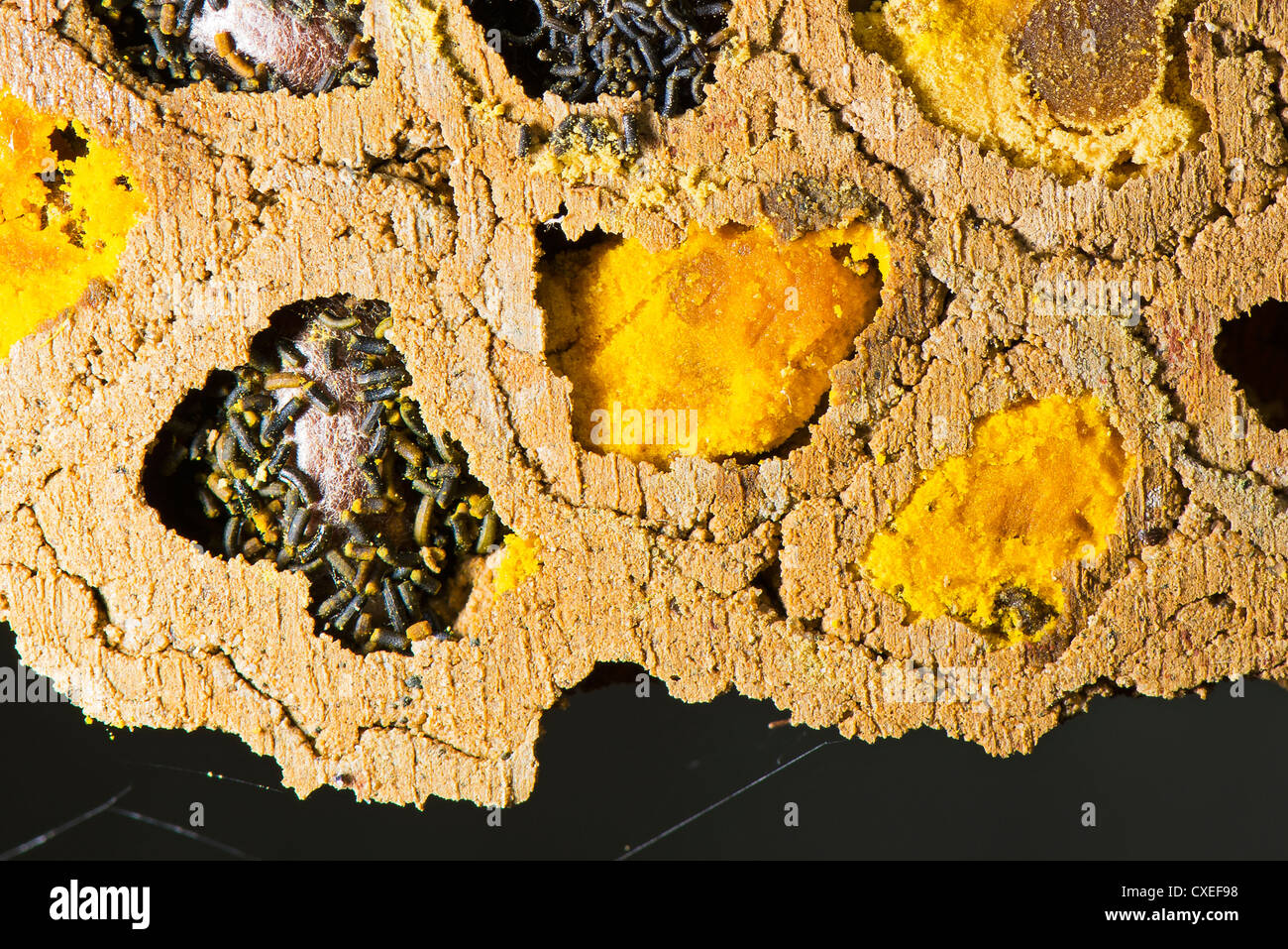 A close up of a colony of Red Mason bees - Stock Image