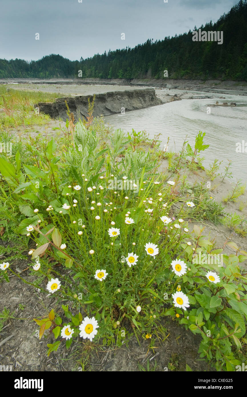 Life erupts from lake sediments, Elwha River recovery, Olympic Peninula Washington - Stock Image