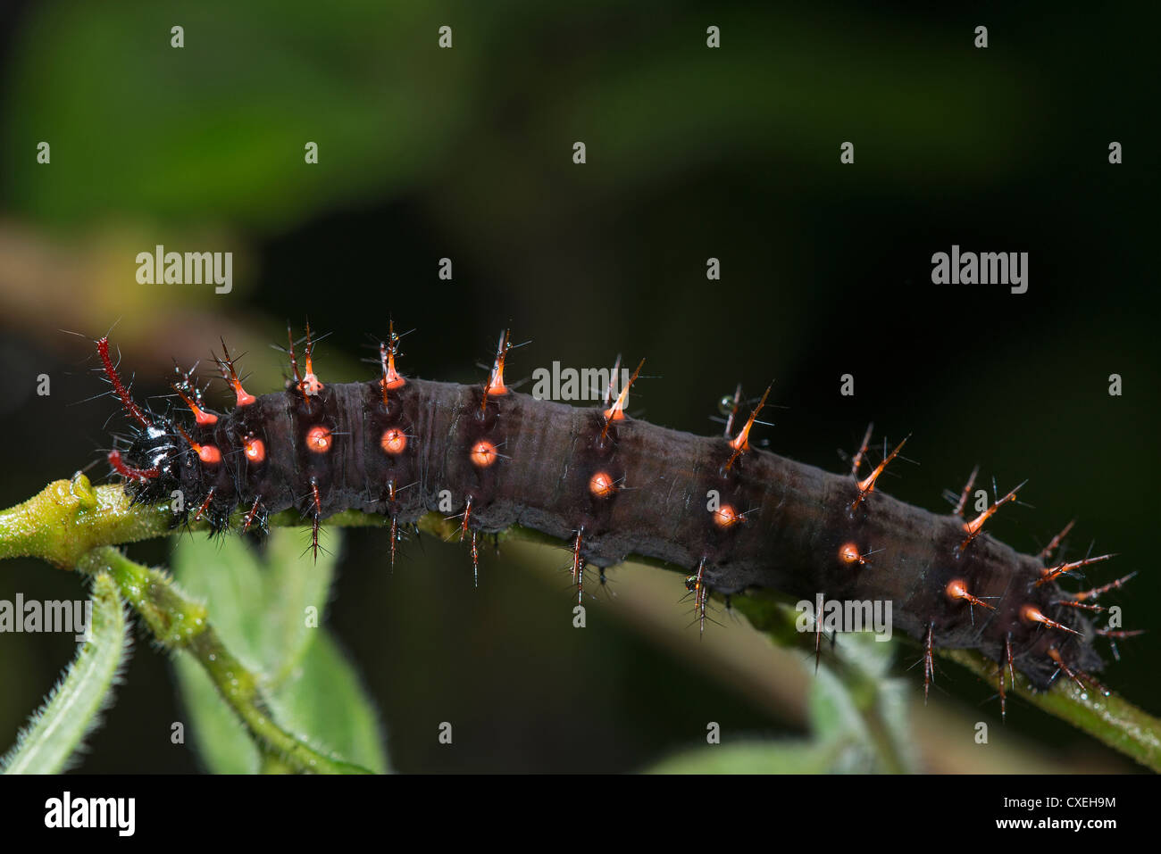A larva of the Malachite butterfly - Stock Image