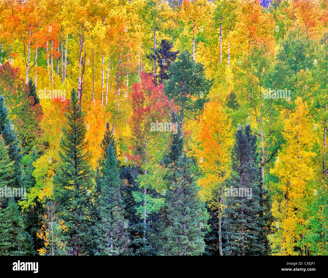 Red, yellow and green colored aspen trees in one grove. San Juan ...