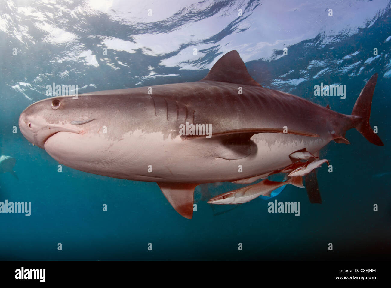 Tiger shark in symbiotic relationship with remore fish ...