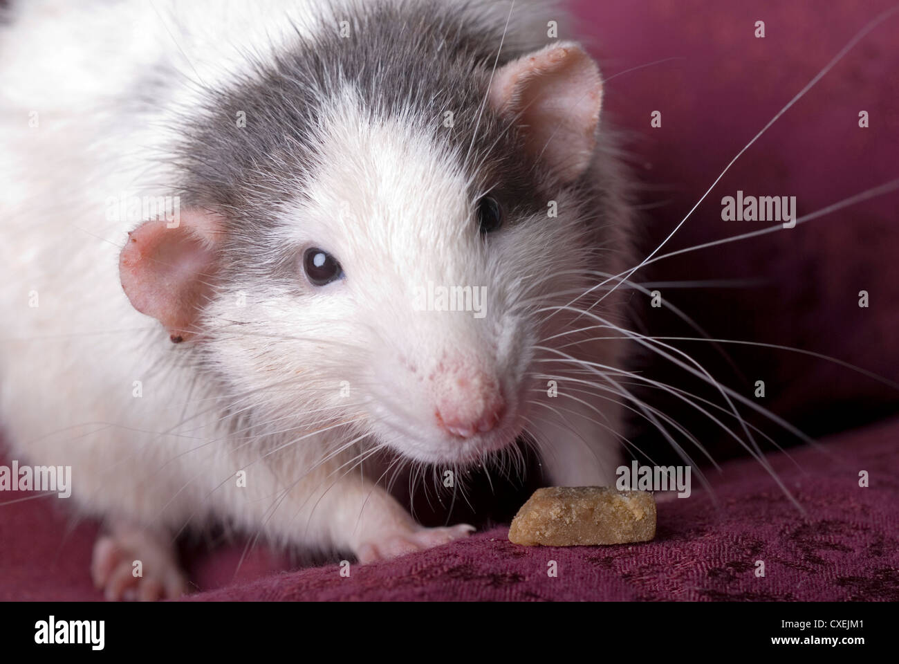Close up horizontal shot of a domestic gray and white rat looking into the camera. - Stock Image