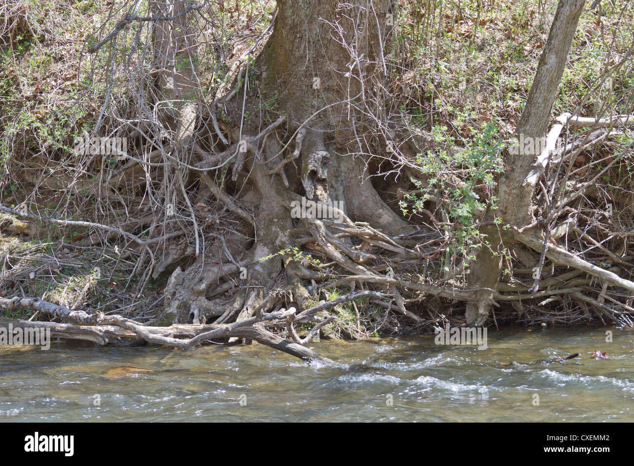 A tangled snarl of tree roots along a river bank Stock Photo