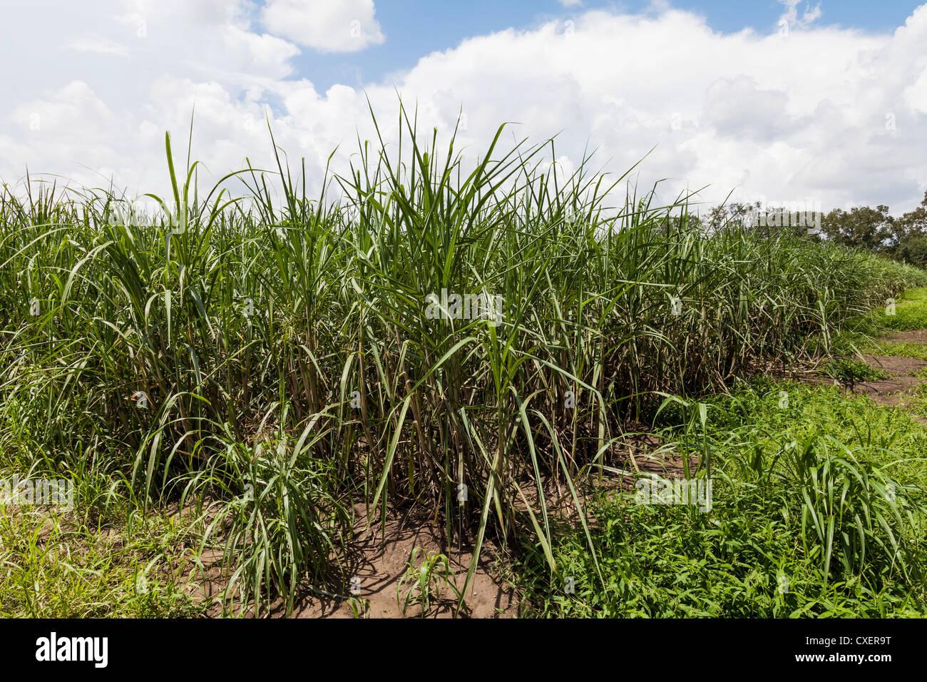 how to make sugar cane