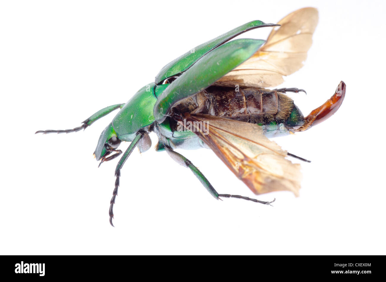 scarab flower beetle - Stock Image