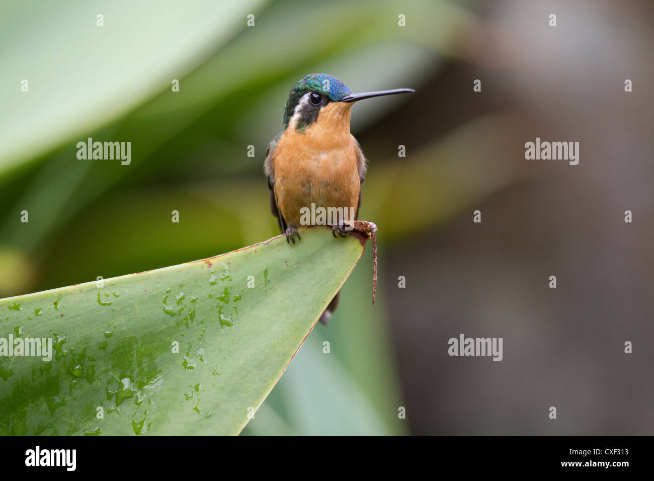 Female Purple-throated Mountain-gem (Lampornis calolaemus) perched on cactus at Savegre Mountain Lodge, Costa Rica. - Stock Image