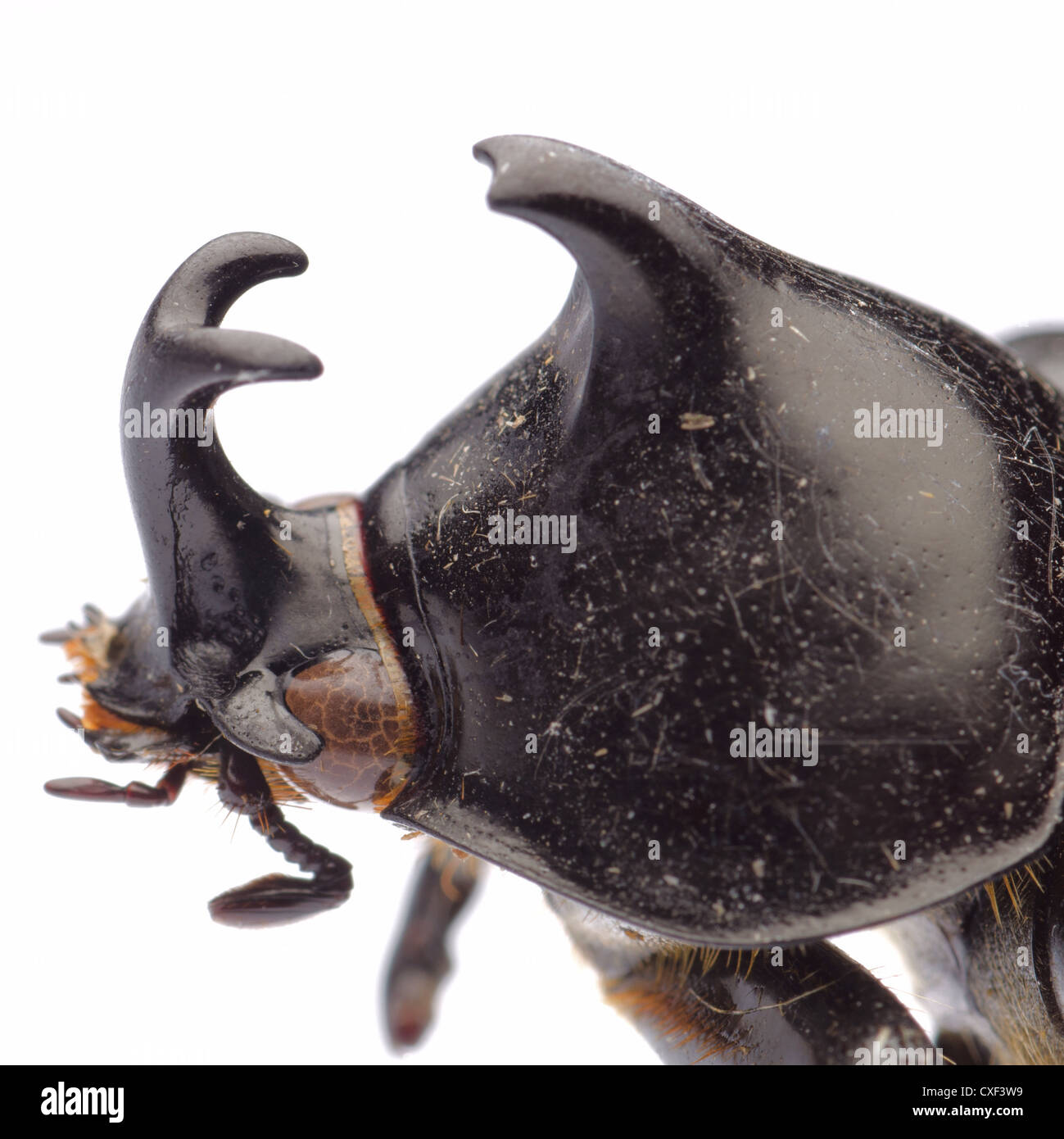 insect giant scarab rhino beetle Xylottrupes gideon isolated - Stock Image