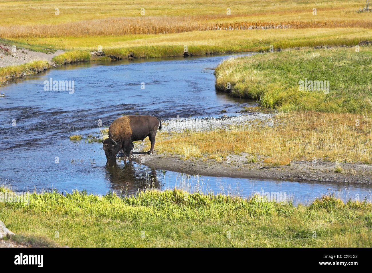 The bison drinks Stock Photo