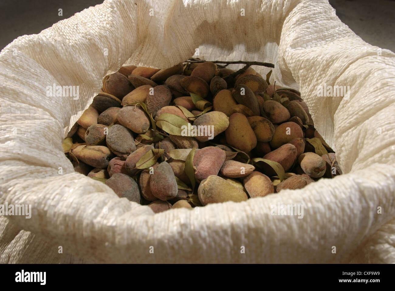 Picture: Steve Race - Freshly harvested Llargueta almonds in sacks, Catalunya, Spain. - Stock Image