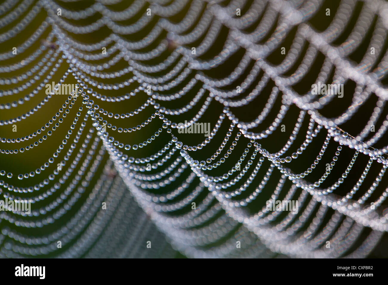 Spider's Web; with dew drops; UK - Stock Image