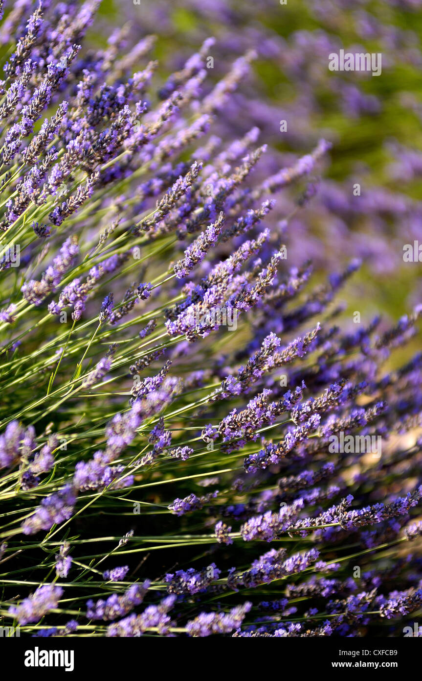 Champs de lavande Valensole Haute Provence France - Stock Image