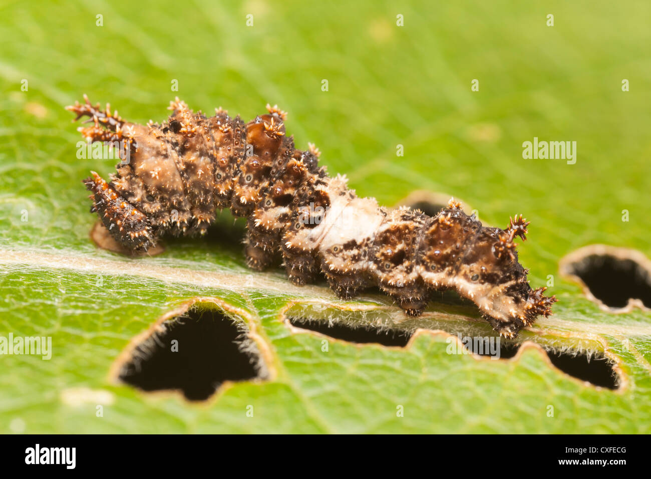 A Viceroy Butterfly (Limenitis archippus)  caterpillar (larva), which mimics a bird dropping, feeding on a Cottonwood - Stock Image