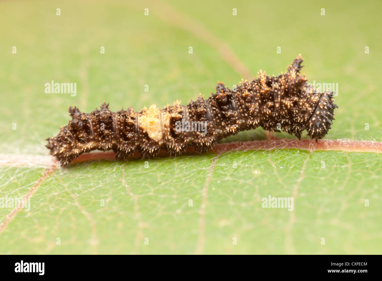 A Viceroy Butterfly (Limenitis archippus) early instar caterpillar (larva), which mimics a bird dropping, on a Cottonwood - Stock Image