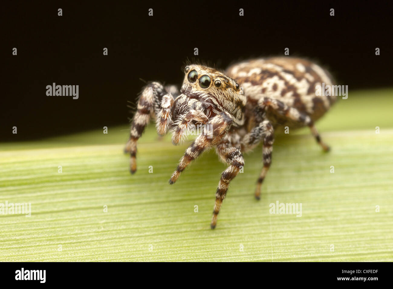 Peppered Jumper (Pelegrina galathea) - Female - Stock Image