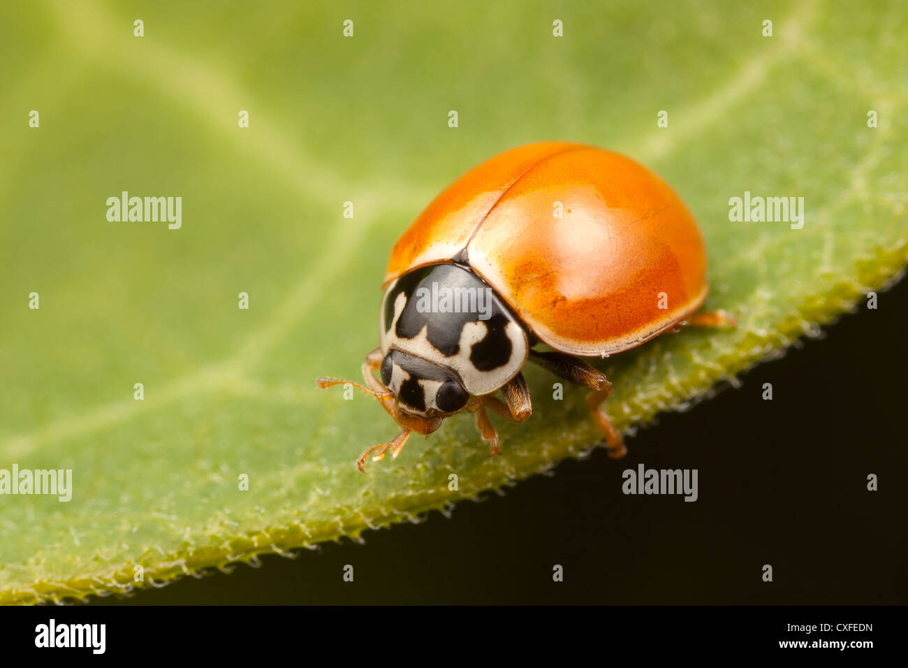 A Polished Lady Beetle (Cycloneda munda) perches on a leaf. Stock Photo