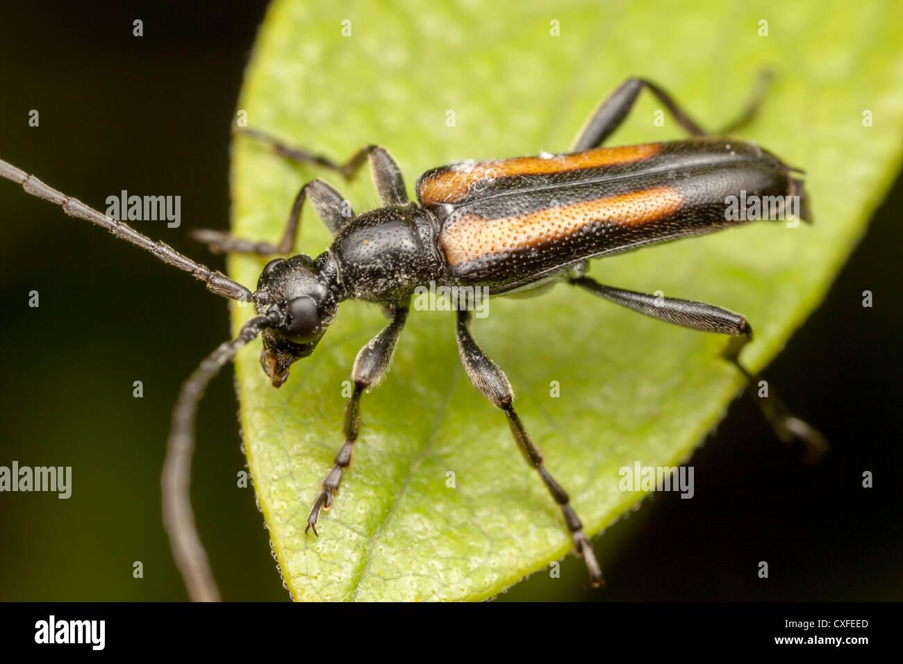 Flower longhorn beetle - PEST CONTROL CANADA