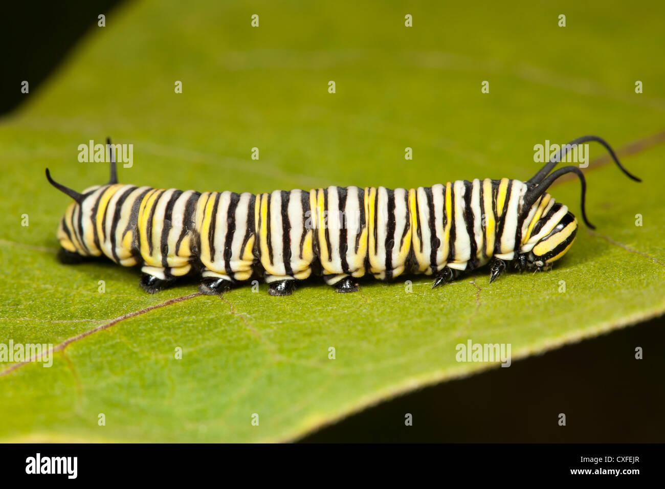 Monarch Butterfly (Danaus Plexippus) caterpillar (larva) 5th instar on a Milkweed plant leaf - Stock Image