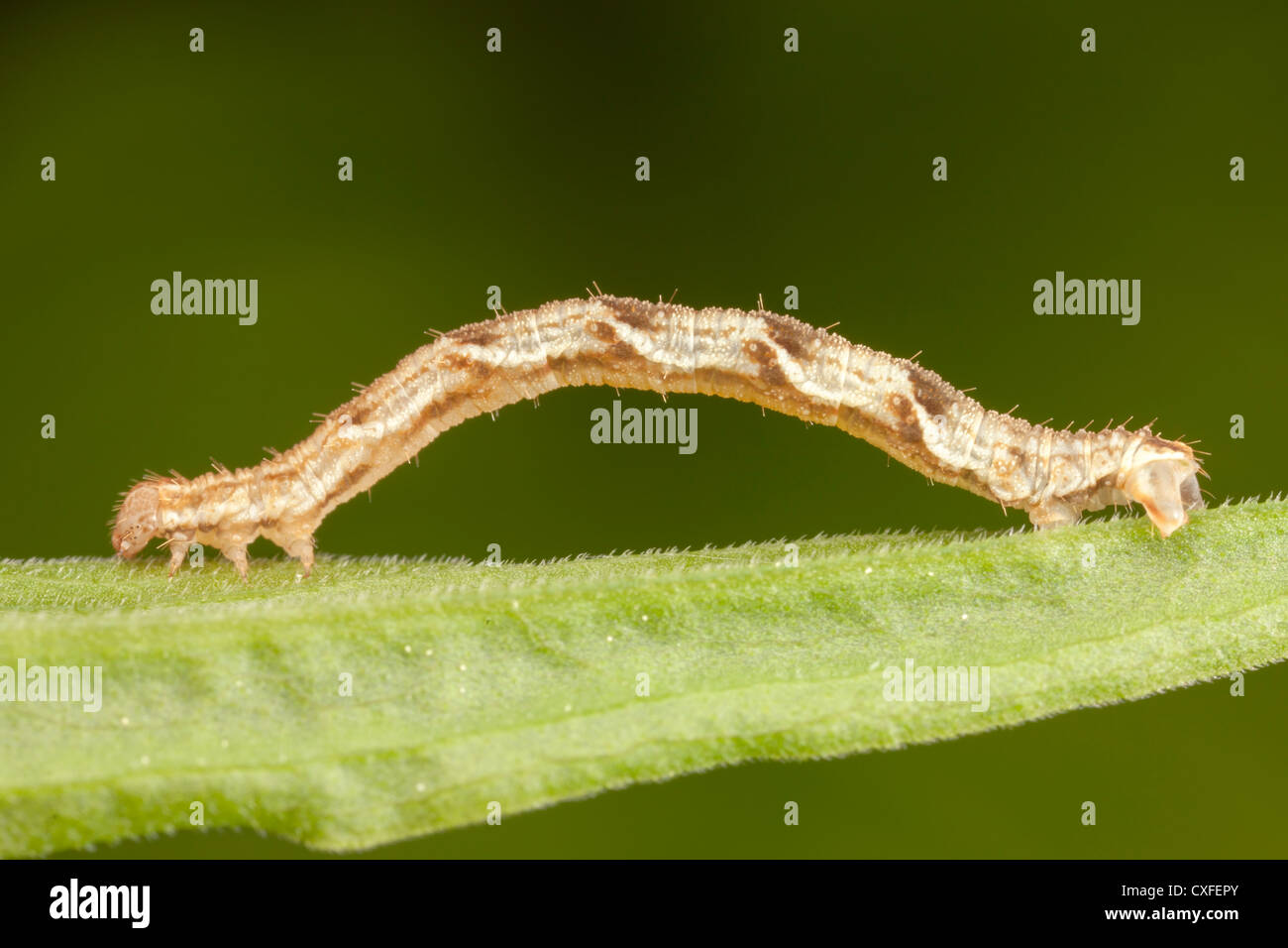 Common Tan Wave Moth (Pleuroprucha insulsaria) caterpillar (larva) - Stock Image