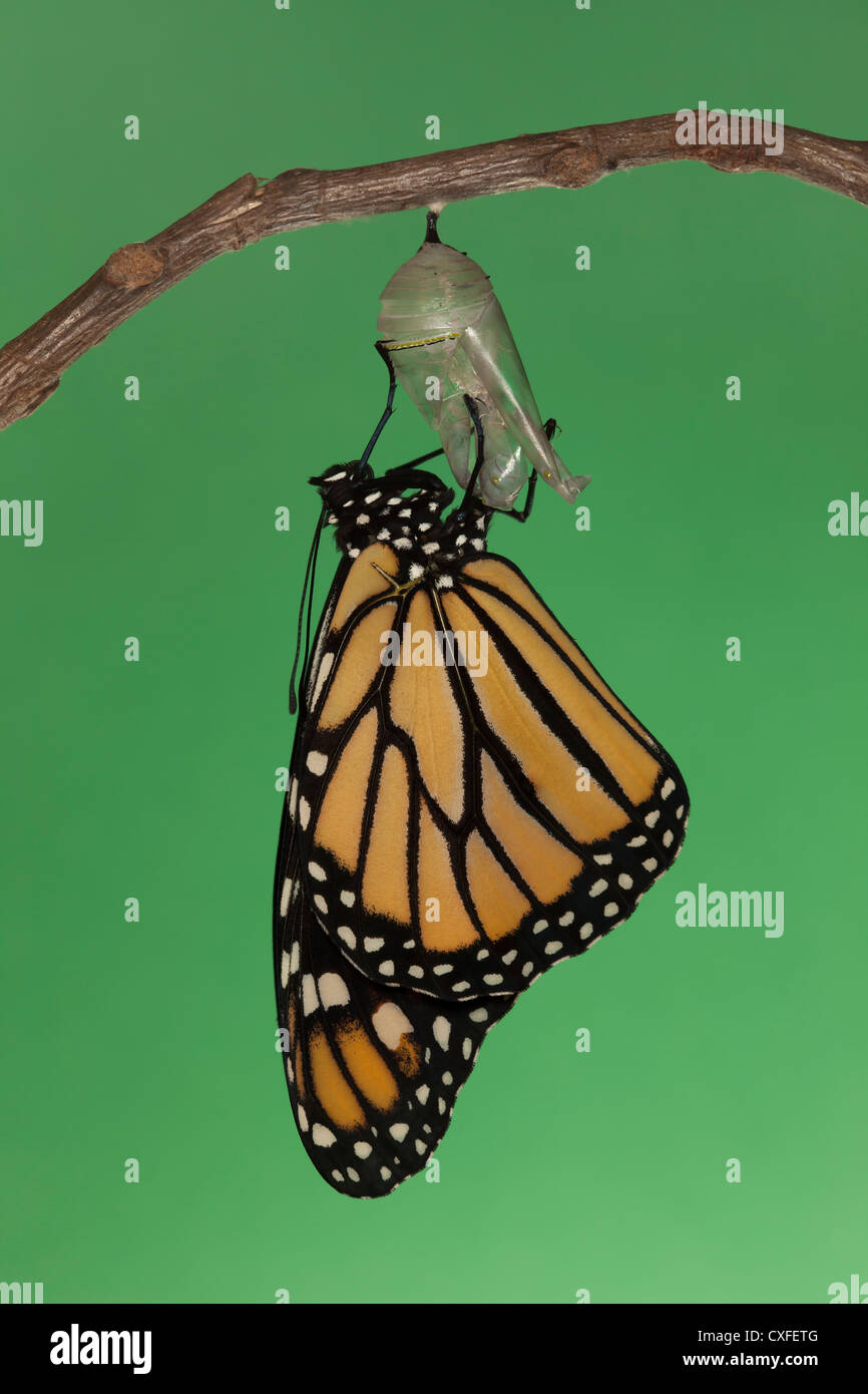 A Monarch Butterfly (Danaus plexippus) drying its wings during the first hour after emerging from its chrysalis - Stock Image