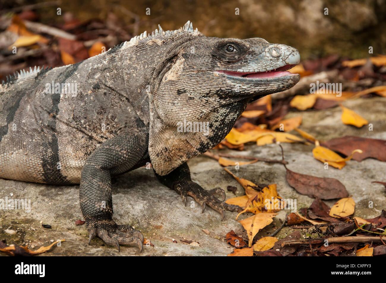 Iguana at Xel-Ha nature park, Riviera Maya, Mexico. - Stock Image