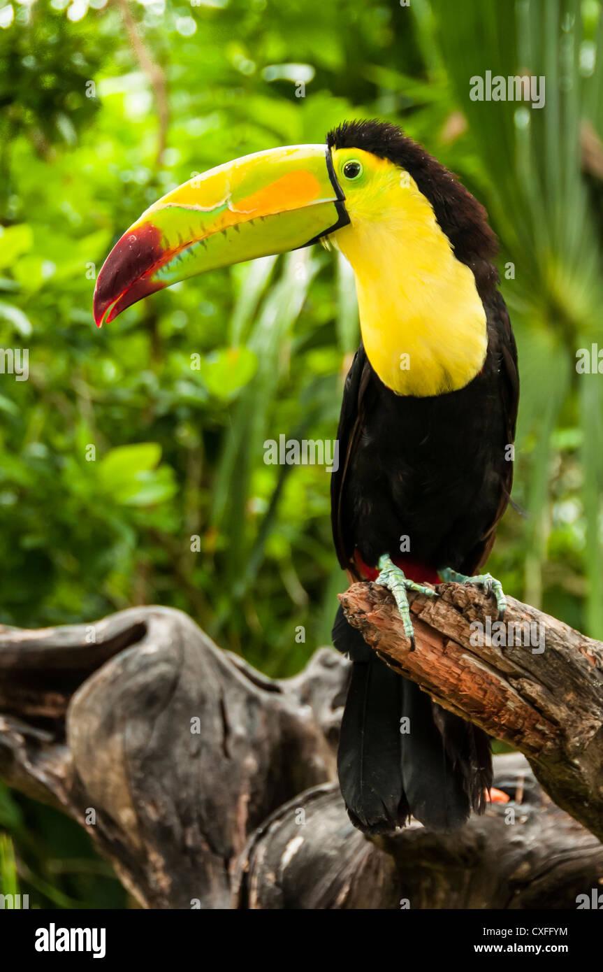 Toucan at Xel-Ha nature park, Riviera Maya, Mexico. - Stock Image
