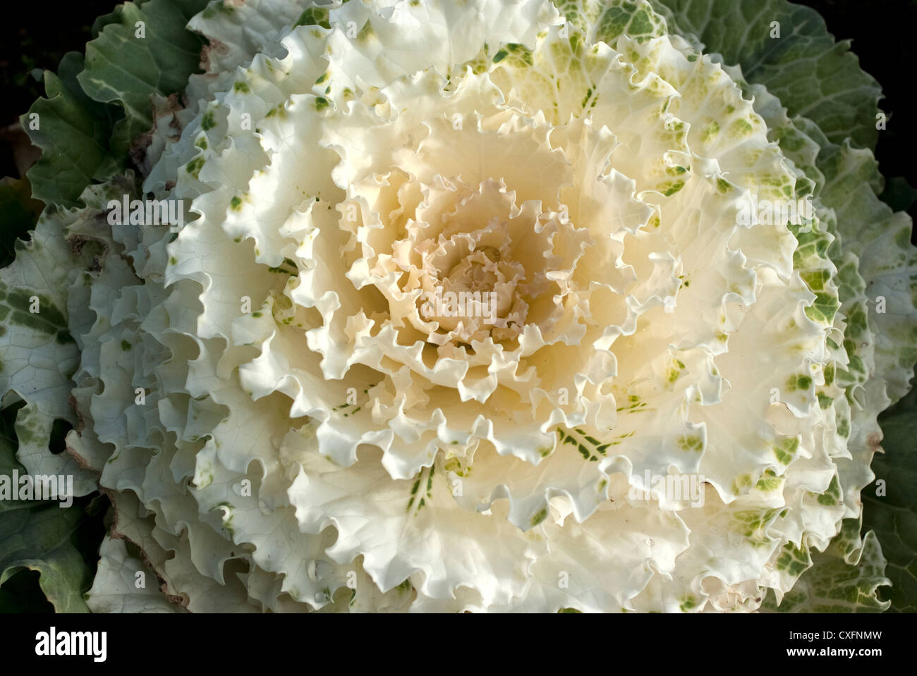 Flower Cabbage Stock Photos Flower Cabbage Stock Images Alamy