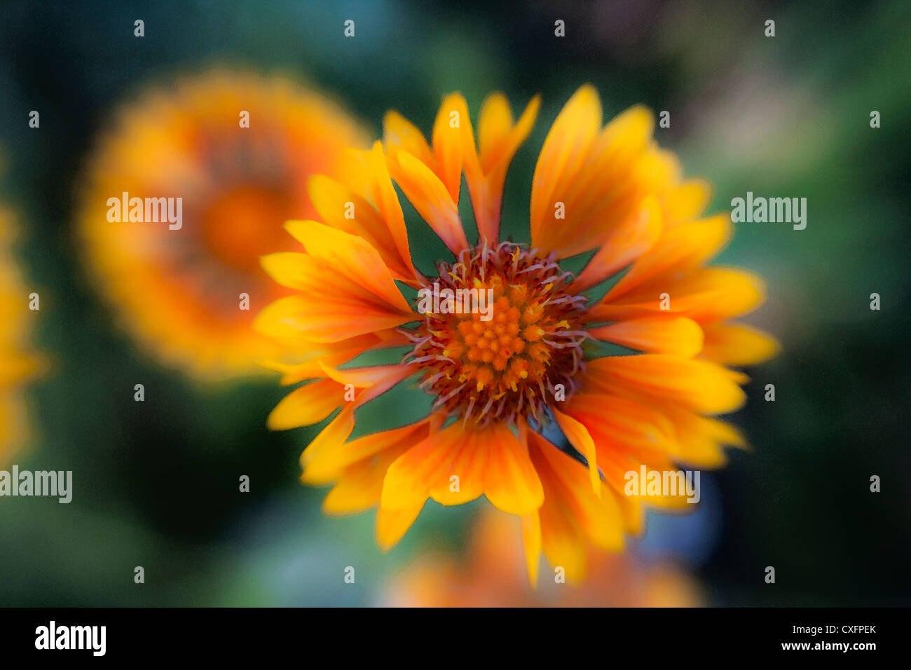 Gaillardia (digital effect) - Stock Image
