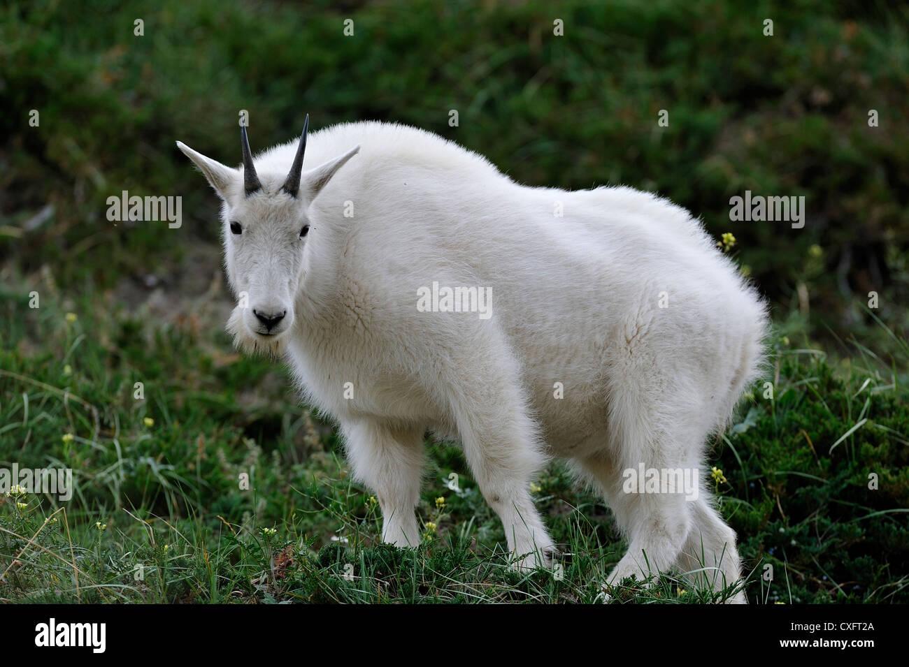 A white mountain goat' Oreamnos americanus' standing in mountain vegetation - Stock Image