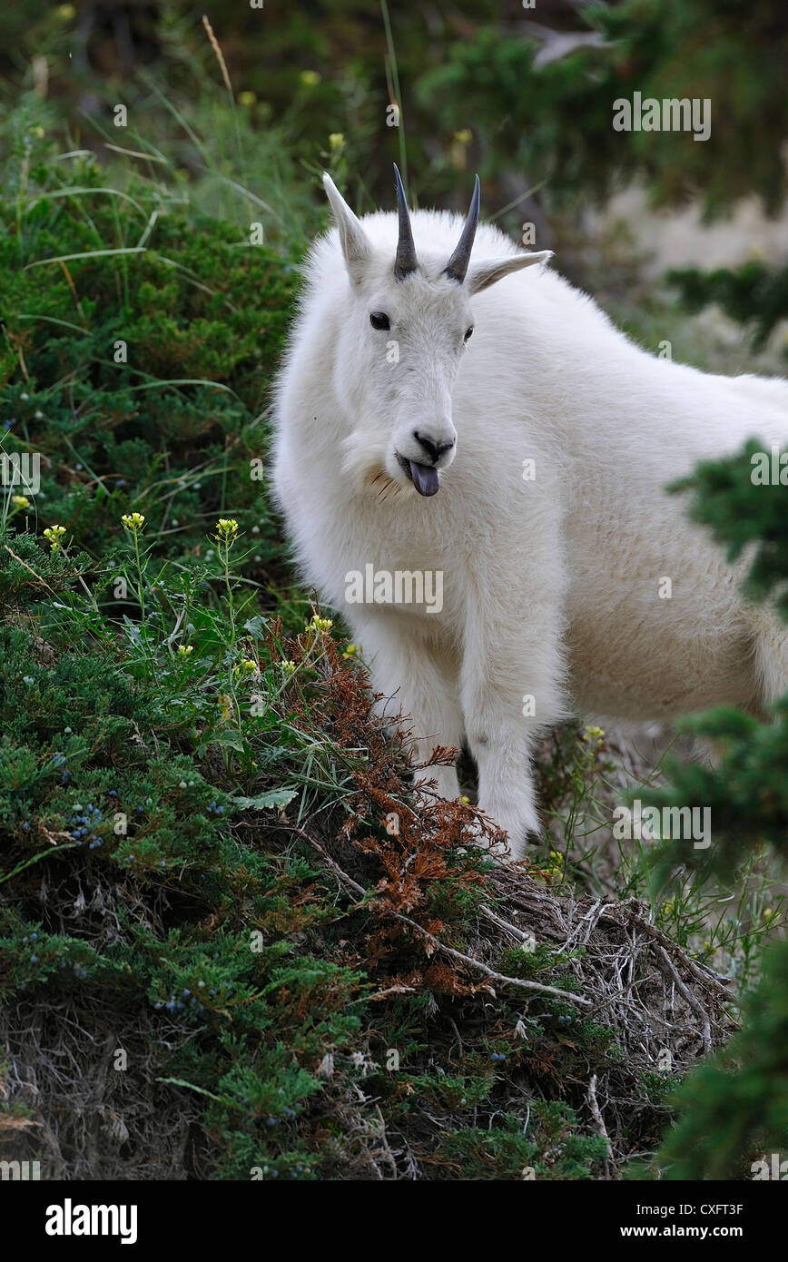 A mountain goat' Oreamnos americanus' foraging in the mountain vegetation. - Stock Image