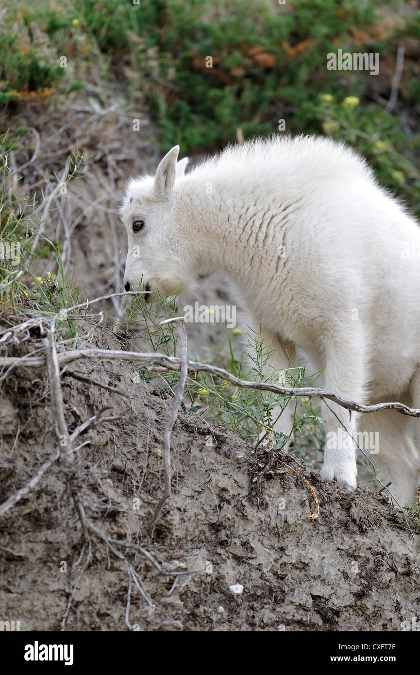 A baby mountain goat foraging on wild flowers. - Stock Image