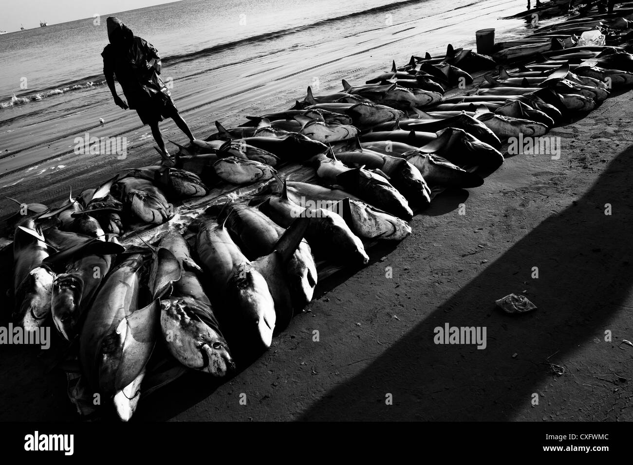 A fisherman counts thresher shark carcasses at dawn on the beach of Manta, Ecuador. - Stock Image