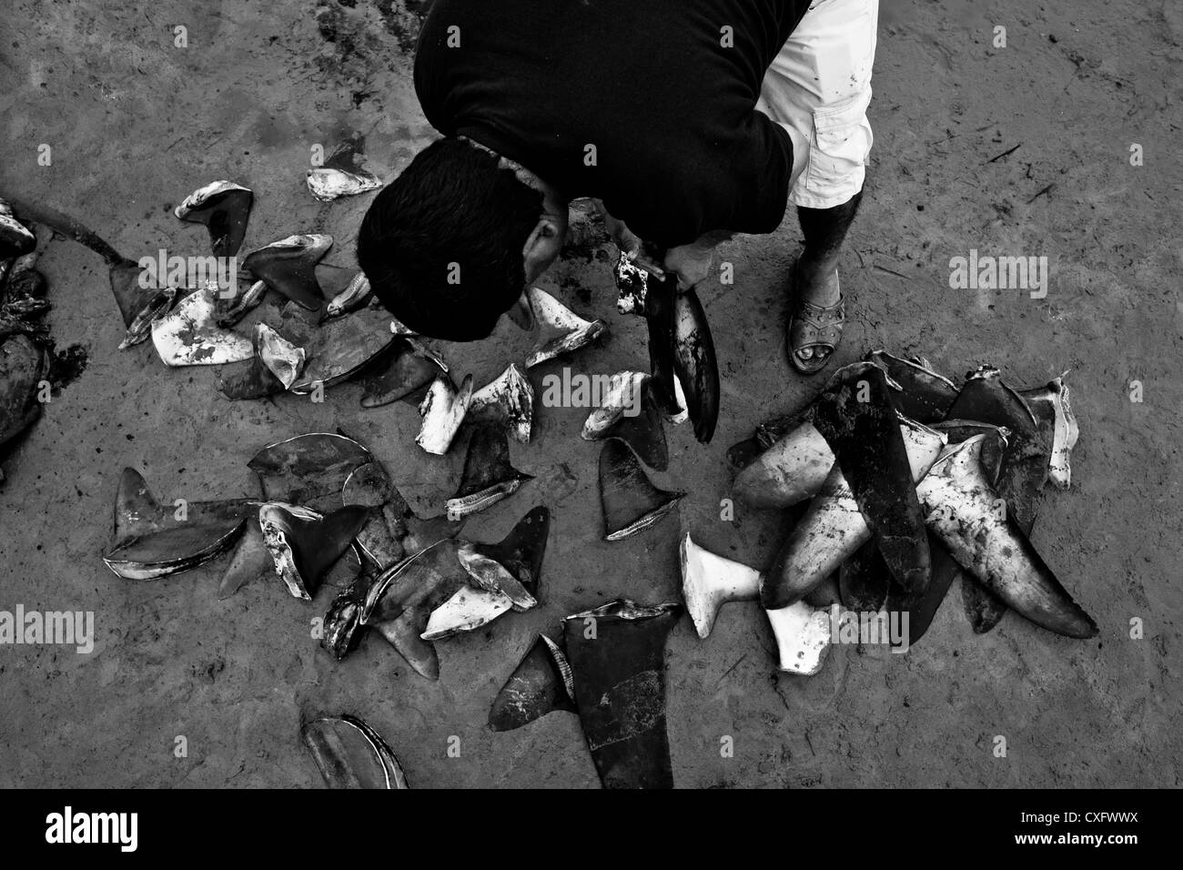 A shark fin buyer looks at a pile of shark fins on the beach of Puerto Lopez, Ecuador. - Stock Image