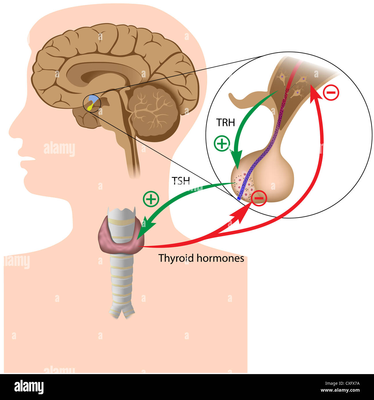 Negative Feedback In The Pituitary Thyroid Axis Stock Photo
