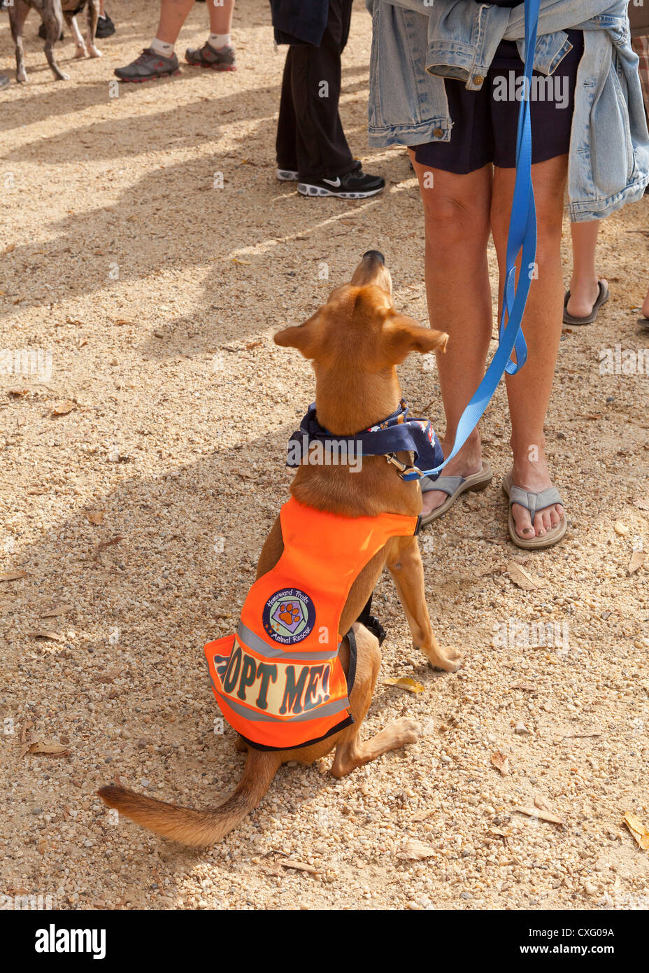Rescue dog wearing 'Adopt Me' vest - Stock Image
